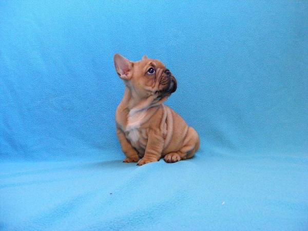red french bulldog riviera